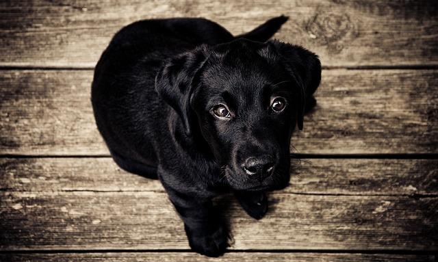 šteniatko čierneho labradora.jpg