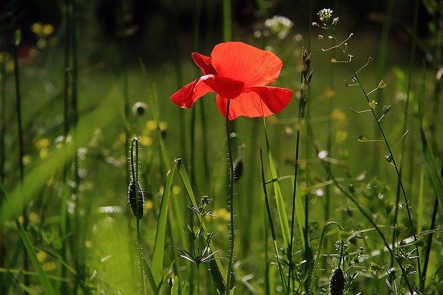 Kvetinka, Mak.jpg