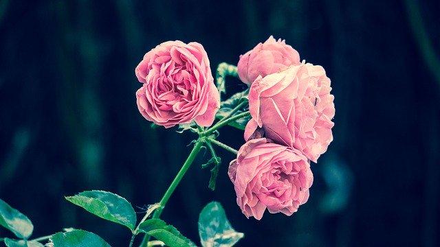 Ružové ruže.jpg